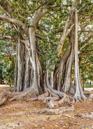 The oldest specimen of Ficus macrophylla giant tree in Italy