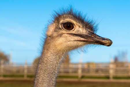 Ostrich Profile of head with neck on the farm.