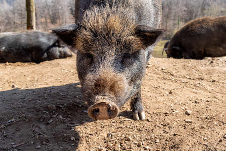 Adult boar on a sandy ground, looking at the camera. Banco de Imagens
