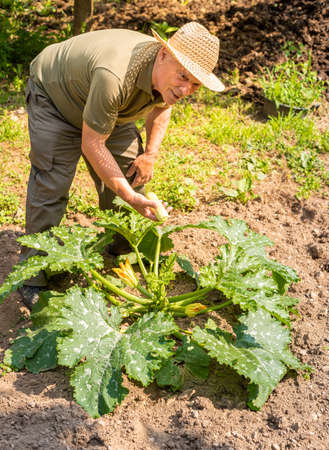 Elderly man is collecting white organic marrow zucchini in vegetables garden, summer harvest of vegetables.