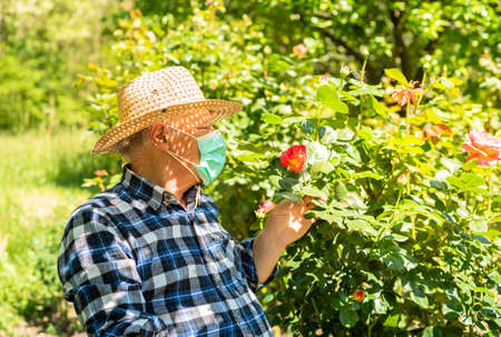 Elderly man wearing a protective mask in the domestic quarantine period in the garden to cure roses.