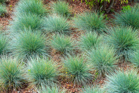 Festuca glauca, commonly known as blue fescue, is a species of flowering plant in the grass family, Poaceae. 版權商用圖片 - 147452053
