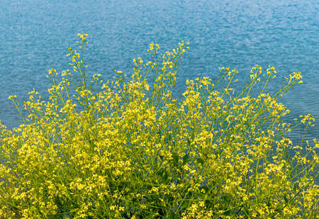 Yellow Brassica napus flowers in bloom on the lakeshore on a sunny day. 版權商用圖片 - 146622581