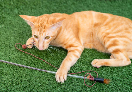 Oriental red cat with big ears, clear eyes and long nose on the green carpet. 版權商用圖片 - 147452087