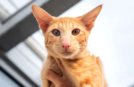Portrait of Oriental red cat with big ears, clear eyes and long nose.