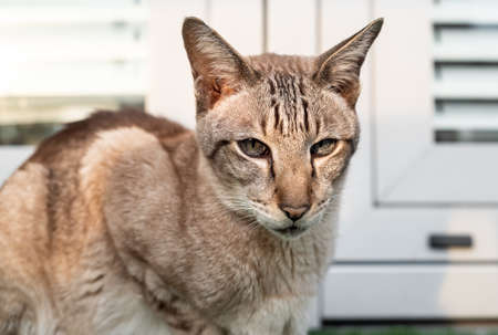 Portrait of Oriental cat with big ears, clear eyes and long nose.