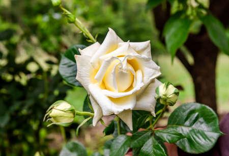 The White cream rose on natural green background. 版權商用圖片 - 147545257