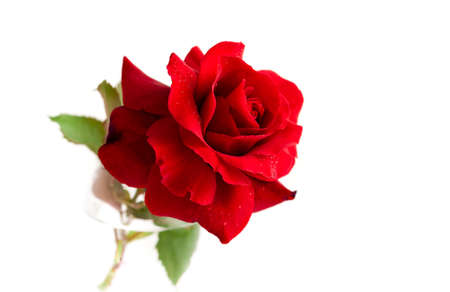 Red rose with water drops isolated on white background. 版權商用圖片 - 147591407
