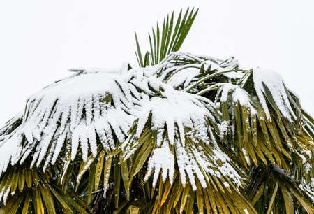 Palm trees in the snow, winter season background