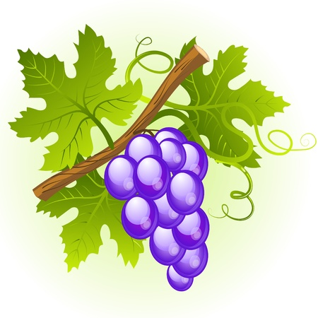 black grape: Grape cluster with green leaves