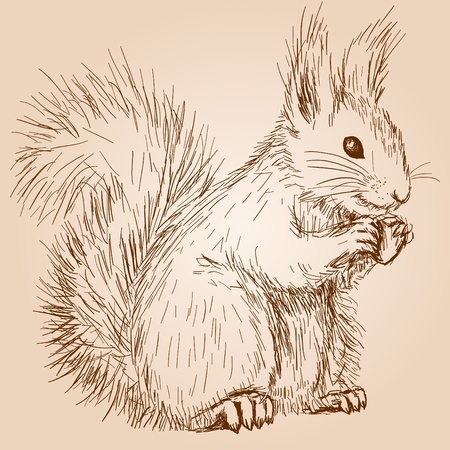 red squirrel: Squirrel