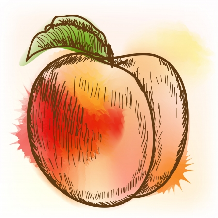 Peach, watercolor painting Stock Vector - 15561233