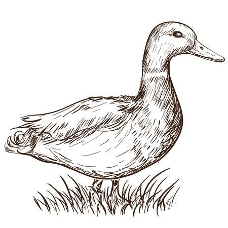 mallard: Dibujado a mano ilustración de un pato en el estilo vintage Vectores
