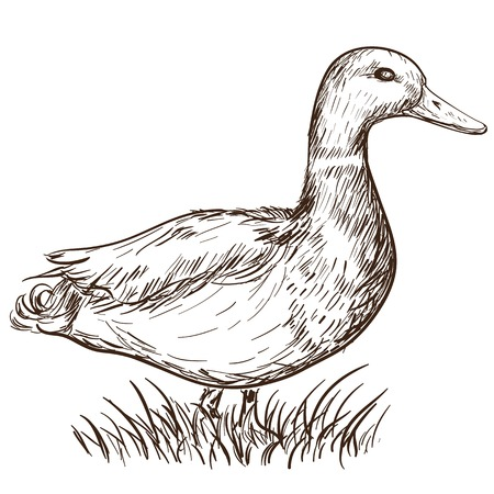 Hand gezeichnete Illustration einer Ente im Vintage-Stil Standard-Bild - 34532592