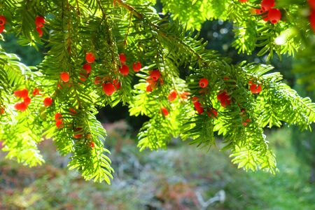 European or english yew, taxus baccata, coniferous green branches with red berries