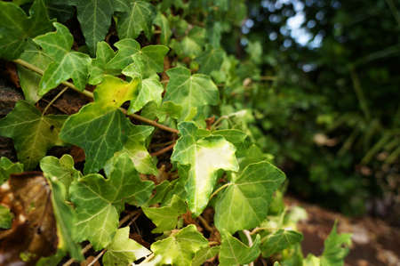 albero: Green ivy