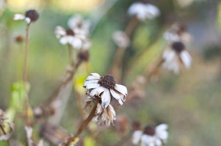 stagnation: dry autumn flowers Stock Photo