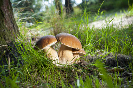 Three mushrooms -  Borowik edulis  photo