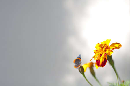 Tagetes and Butterfly photo