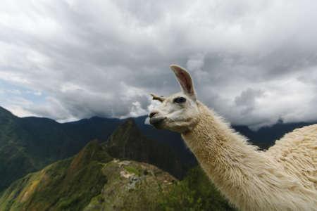 Lama in Machu Picchu,UNESCO World Heritage Site