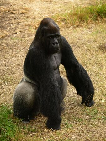 king kong: This is a Western Lowland Gorilla.