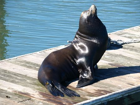 pinniped: Sealion
