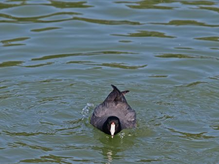 coot: This is a Swimming Coot.