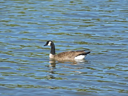 canadensis: This is a Swimming Wild Canada Goose(Branta Canadensis).