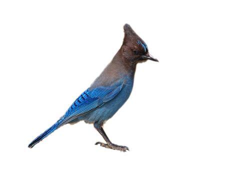 Blue Jay Isolated on White Background photo