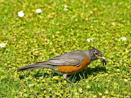 earthworms: Estadounidense Robin captura de lombrices