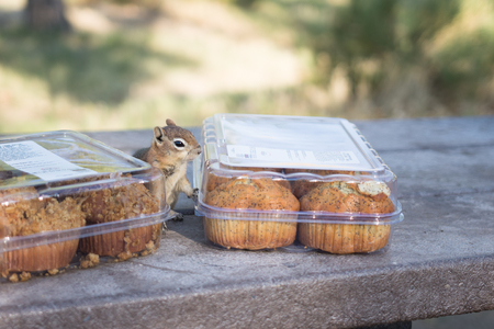 Small brown chipmunk approaches camp site muffin containers Stock Photo