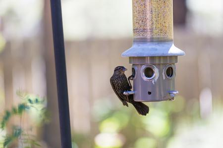 Sparrow eats at seed bird feeder in aviary
