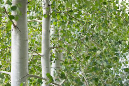 Groen gebladerte en witte stammen van trillende espenbomen