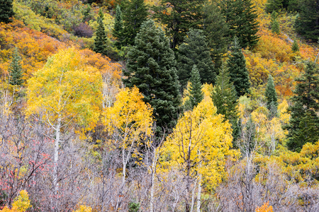 Yellow quaking aspens, evergreens and orange foliage on steep mountainside in Wasatch Mountains, Utah, USA