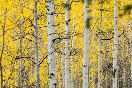 Families of quaking aspens with vibrant yellow leaves in Alpine Loop, Wasatch Mountains, Utah, USA Stok Fotoğraf