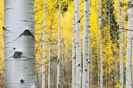 Families of quaking aspens with vibrant yellow leaves in Alpine Loop, Wasatch Mountains, Utah, USA Banco de Imagens
