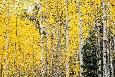 Families van trillende espen met levendige gele bladeren in Alpine Loop, Wasatch Mountains, Utah, VS