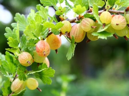 gooseberry bush: The photo shows a branch bearing fruits of a gooseberry bush