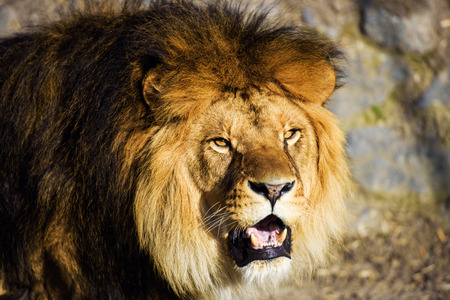 mighty: Beautiful Mighty Lion Stock Photo