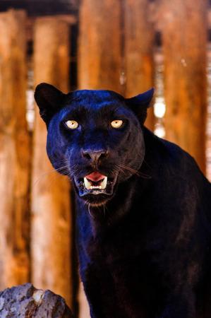 piękna czarna pantera Zdjęcie Seryjne