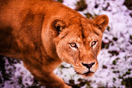 Beautiful Mighty Lioness Reklamní fotografie