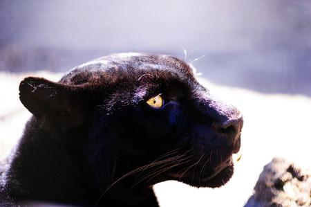 beautiful black panther Stock Photo