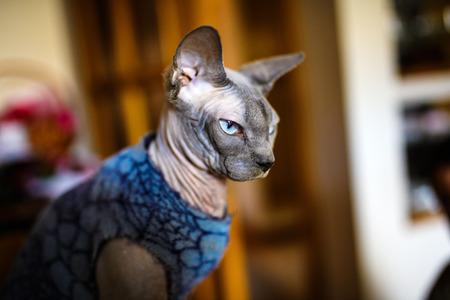 A beautiful gray sphinx cat