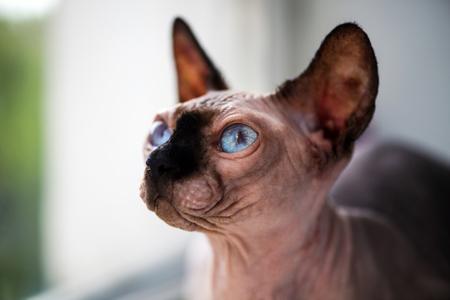 sphinx cat at home 版權商用圖片