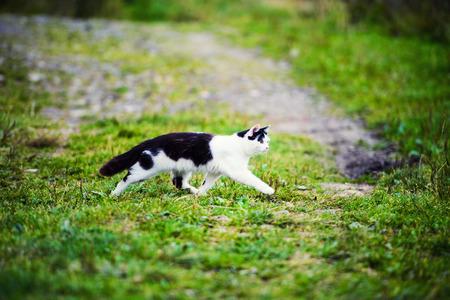 hunting cat jumping through grass Stock Photo