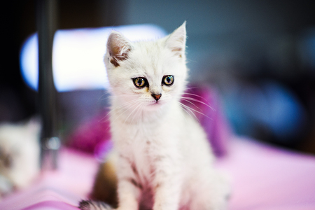 Cute little white kitten with amazing eyes Imagens
