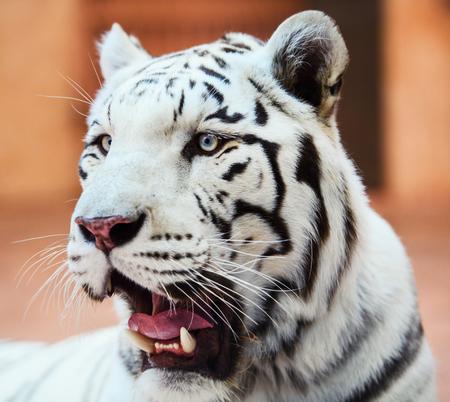 Cara de un tigre de Bengala blanco,