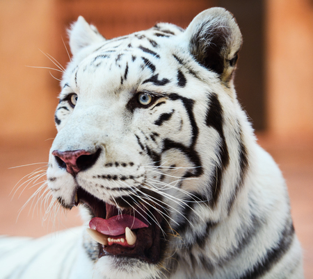 Face of a white bengal tiger,