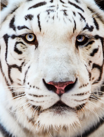 Face of a white bengal tiger, Banque d'images