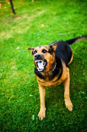 Ataques de perros enojados. El perro parece agresivo y peligroso.
